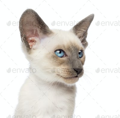 Close-up an Oriental Shorthair kitten, 9 weeks old, looking away against white background