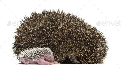 Baby Hedgehog lying next to its mother against white background