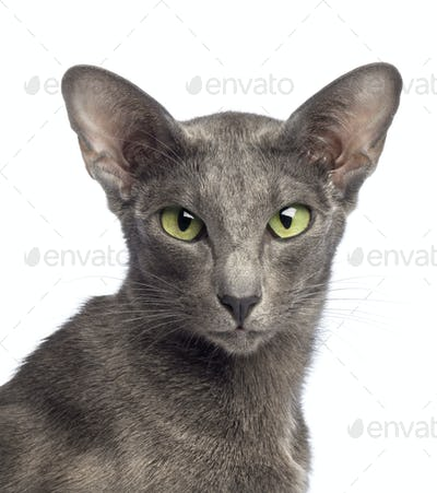 Close-up of an Oriental Shorthair looking at camera against white background