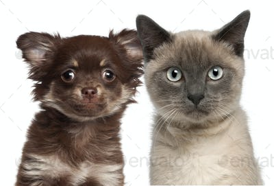 Close-up of Siamese kitten, 6 months old, and Chihuahua puppy against white background