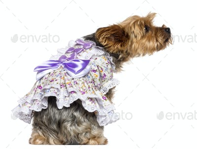 Rear view of Yorkshire Terrier, 7 years old, sitting, dressed