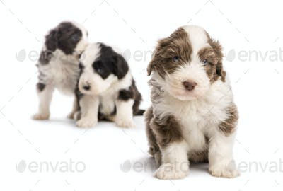Bearded Collie puppy, 6 weeks old, sitting and two others in the background against white background