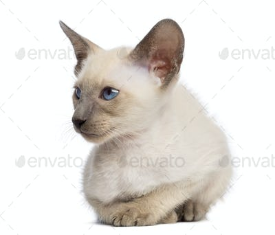 Oriental Shorthair kitten, 9 weeks old, lying and looking away against white background