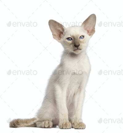 Oriental Shorthair kitten sitting and looking at camera against white background