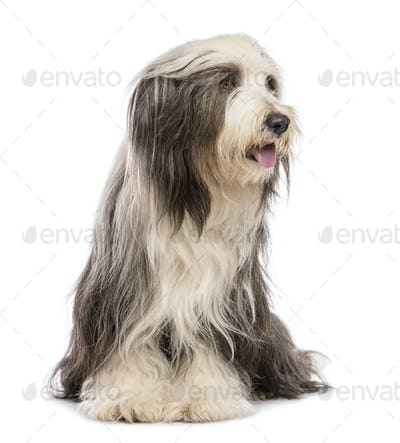 Bearded Collie, 5 years old, sitting and looking right against white background