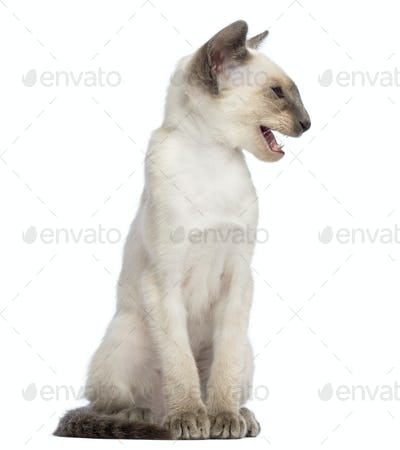 Oriental Shorthair kitten, 9 weeks old, sitting, looking away and meowing against white background