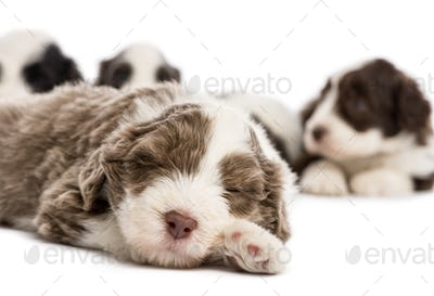 Close up of a Bearded Collie puppy, 6 weeks old, sleeping and in the background others are lying
