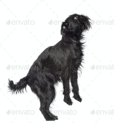 Side view of Griffon Bruxellois, 2 years old, standing on hind legs