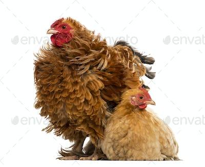 Crossbreed rooster, Pekin and Wyandotte, standing next to a Pekin bantam hen lying