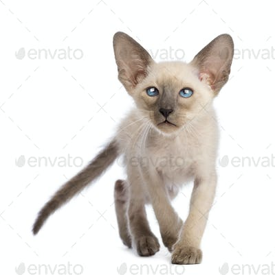 Front view of an Oriental Shorthair kitten walking and looking up against white background