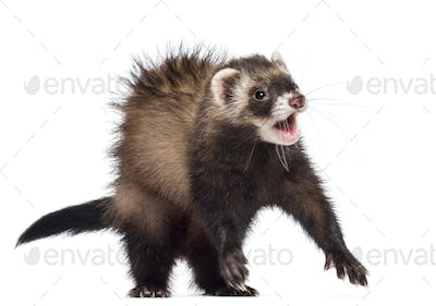 Ferret, 7 months old, scared, surprised, frightened against white background