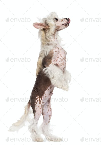 Chinese Crested dog standing on hind legs and looking up against white background