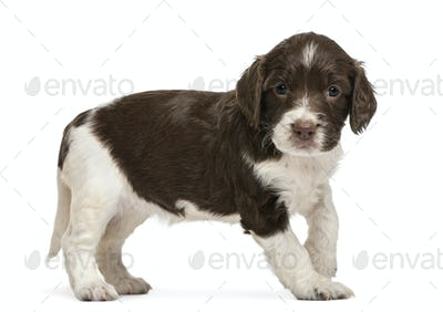 English Springer Spaniel, 5 weeks old, looking at camera against white background