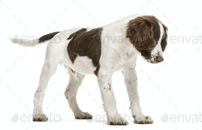 English Springer Spaniel looking down against white background
