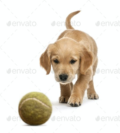 Golden retriever puppy, 7 weeks old, walking towards tennis ball against white background