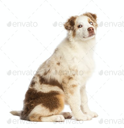 Australian Shepherd puppy, 3.5 months old, sitting and looking back