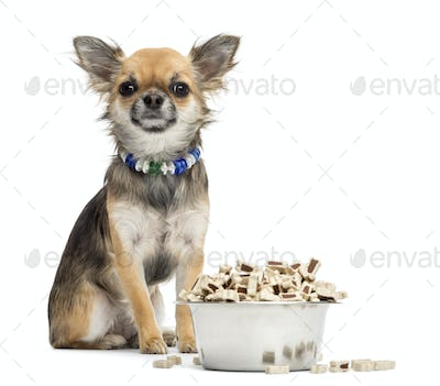 Chihuahua sitting next to bowl of food and looking at camera against white background