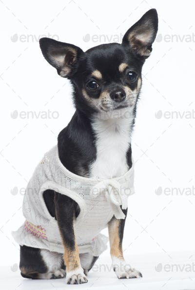 Chihuahua dressed, sitting and looking at camera against white background