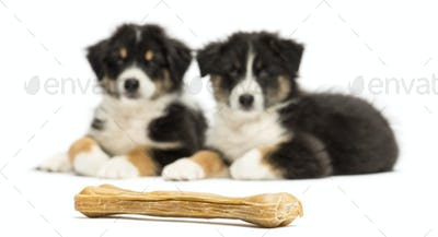 Two Australian Shepherd puppies, 2 months old, lying and looking