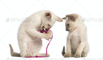 Oriental Shorthair kitten playing with pink string with another watching against white background
