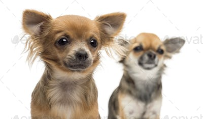 Close-up of two Chihuahuas looking away against white background