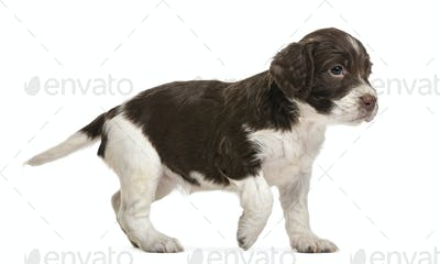 English Springer Spaniel, 5 weeks old, looking away against white background
