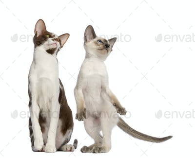 Oriental Shorthair adult sitting and kitten standing on hind leg looking up against white background