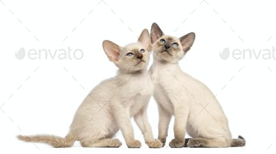 Two Oriental Shorthair kittens sitting and looking up against white background