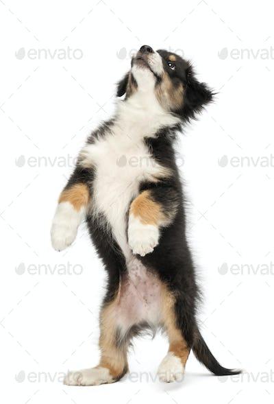 Australian Shepherd puppy, 2 months old, standing on hind legs