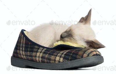 Oriental Shorthair kitten, 9 weeks old, lying and sleeping
