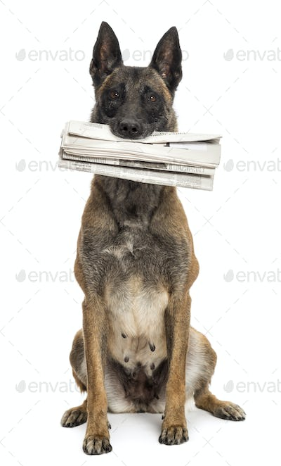 Belgian Shepherd sitting and holding newspaper in its mouth against white background