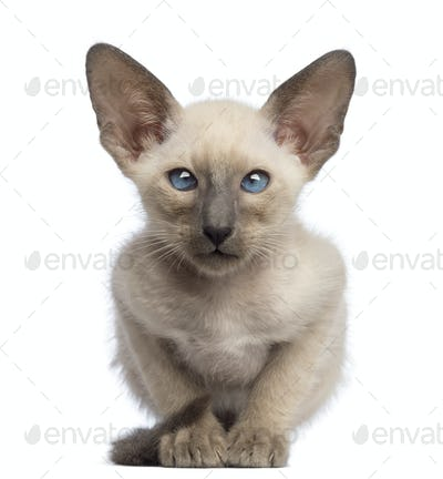 Oriental Shorthair kitten, 9 weeks old, lying and looking at camera against white background
