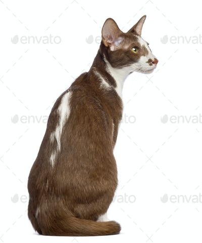 Rear view of an Oriental Shorthair sitting and looking away against white background