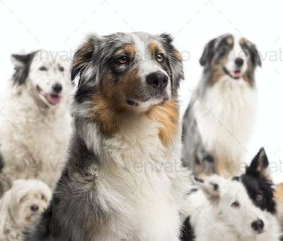 Close up of a Australian Shepherd with dogs in the background sitting against white background