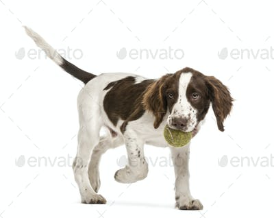 English Springer Spaniel walking with tennis ball in its mouth against white background