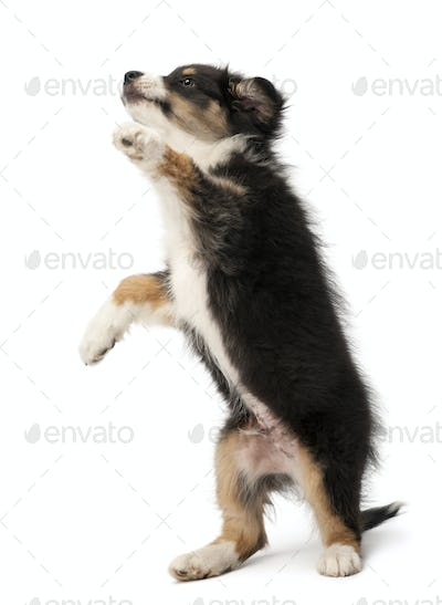Australian Shepherd puppy, 2 months old, standing on hind legs against white background