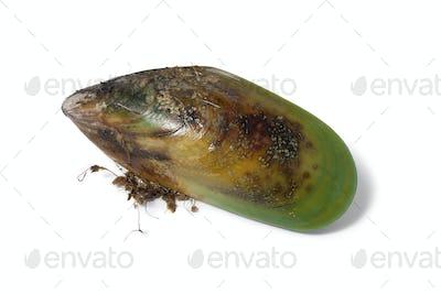 Fresh raw New Zealand green lipped mussel