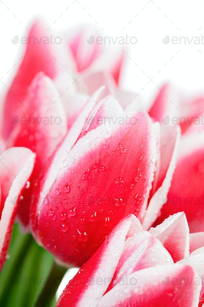 Tulips with water drops
