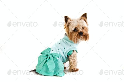 Yorkshire Terrier  in nice dress