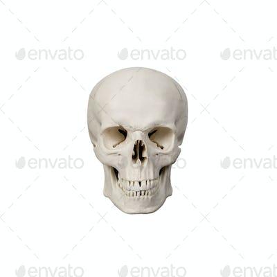human scull