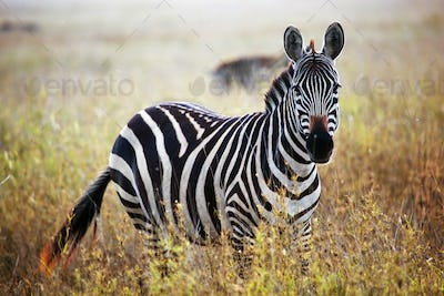Zebra portrait on African savanna.