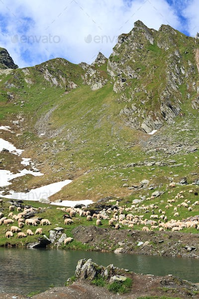 mountain sheep to pasture