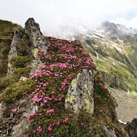 mountain peonies (rhododendron)