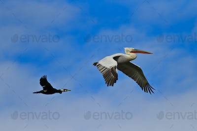 cormorant and dalmatian pelican in flight