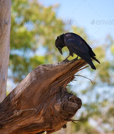 curious currawong