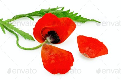 Poppy red with torn petals