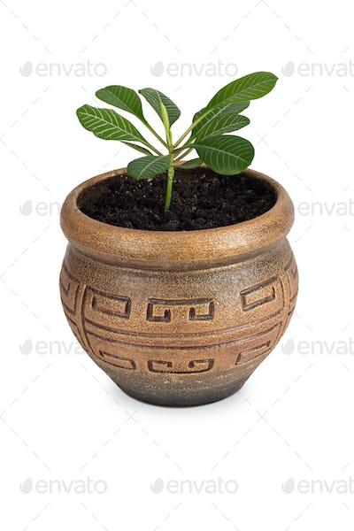 Home plant Euphorbia leuconeura