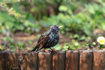 starling bird (sturnus vulgaris)