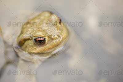 Toad in water, Bufo bufo
