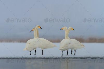 Whooper Swan (Cygnus cygnus) in winter